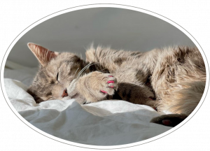 sleeping grey cat on a white bed