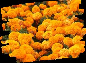 many orange marigolds